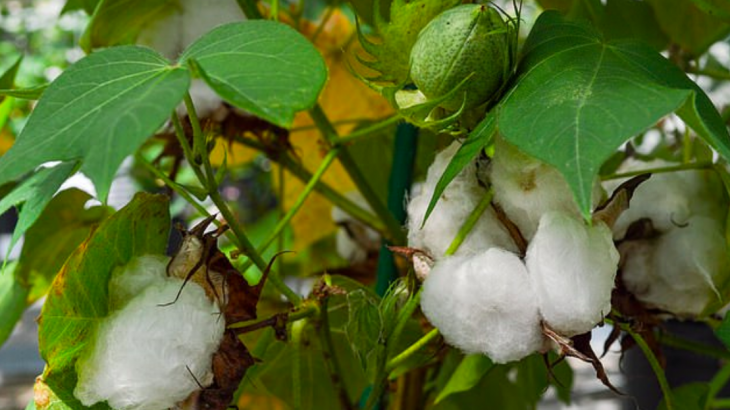 This week, the US Department of Agriculture approved a new kind of cotton plant that was developed by researchers from Texas A&M University.