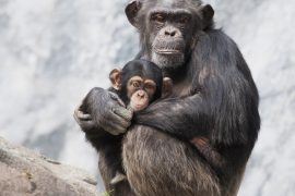 Female chimps know which males to avoid to keep their babies from being killed, according to a new study.