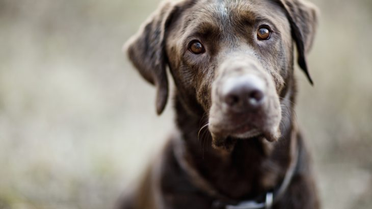 A new study has found that chocolate Labs have shorter lifespans and are more prone to ear and skin infections than their black and yellow counterparts.