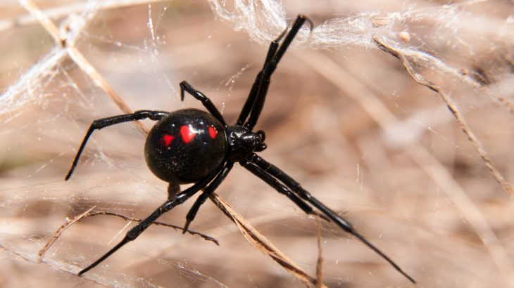 Black widow spiders, native to temperate climates and found all over the world, are known for their steel-strength silk fibers.