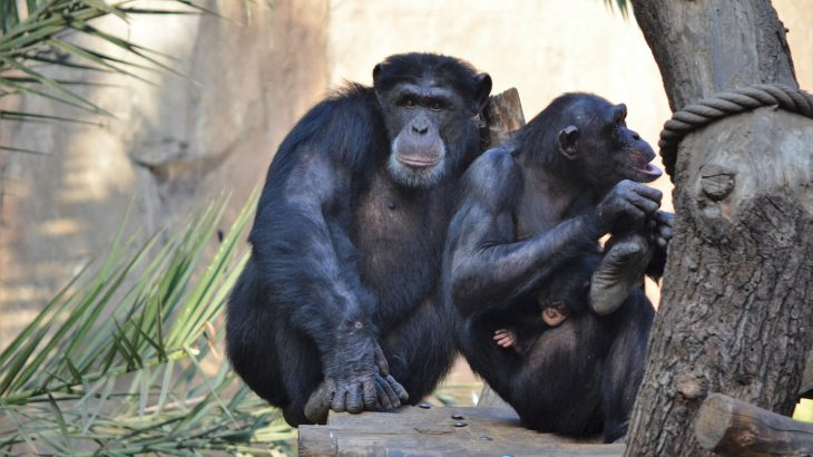 Like bats that use scent to find their pups, a new study reveals that chimpanzees can distinguish between strangers and family using scent.