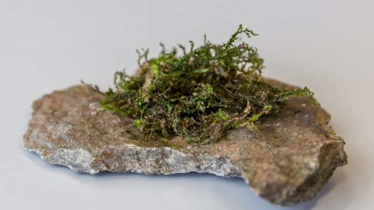 A type of moss called Radula perrottetii contains a substance called perrottetinene which is related to THC.