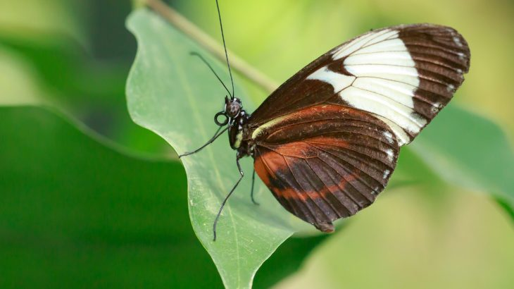 Heliconius butterflies, a group of colorful species native to Central and South America, use their coloring as a disguise.