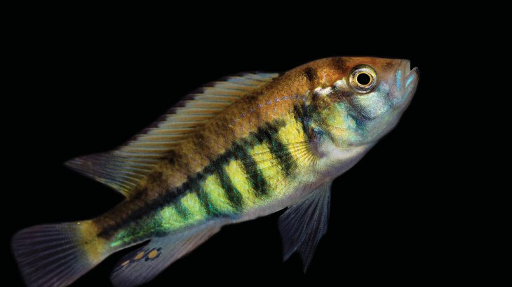 Researchers have discovered why some species of colorful African cichlid fish have stripes while others don't.