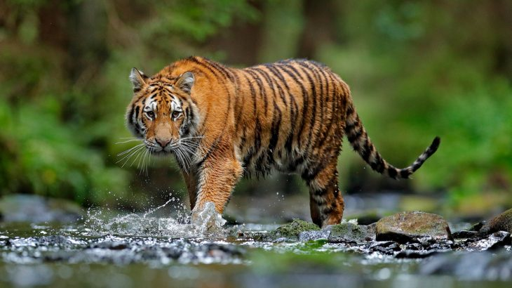 In an effort to protect the less than 4,000 free-ranging tigers left, researchers set out to finally find how many subspecies of tiger exist.