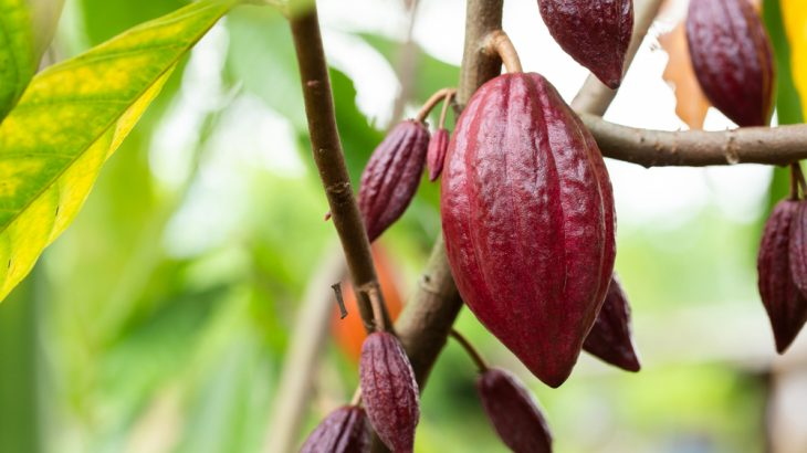 Geneticists have traced the domestication of the cacao tree to Central America, 3,600 years ago.