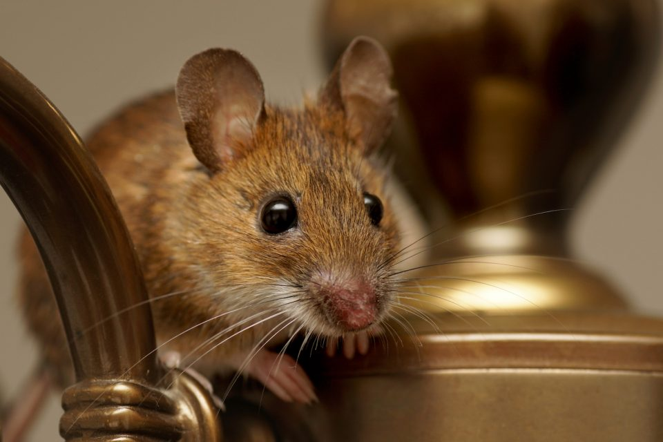 The house mouse, that clever and pestilent rodent, has trailed humankind since even before the dawn of agriculture.