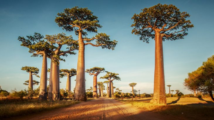 Few trees inhabit the human imagination quite as the baobabs do, as they have captivated human observers for millennia.
