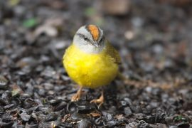 """Warming temperatures have pushed mountain birds on a rising """"escalator to extinction,"""" according to a recent study."""
