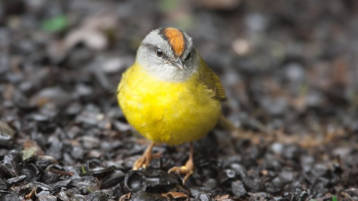 "Warming temperatures have pushed mountain birds on a rising ""escalator to extinction,"" according to a recent study."