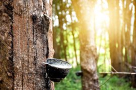 Plants as natural resources play a role in global politics, and the rubber tree and sugar producing plants are prime examples.