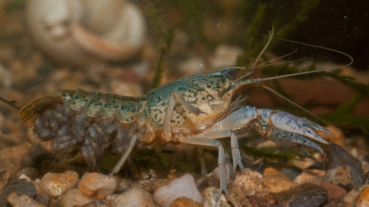 Marbled crayfish have developed the bizarre ability to clone themselves which has resulted in crustacean invasions on three continents.