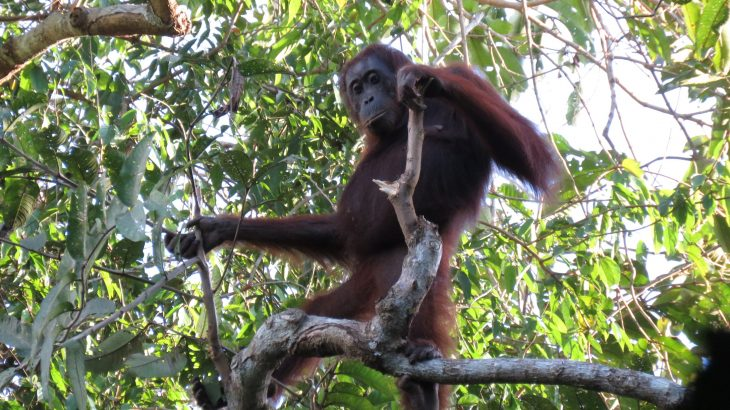 Recent studies on orangutans are contradicting a new report from the Indonesian government, which claims that orangutan populations increased.