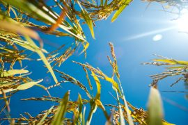 Hot temperatures may trigger changes within a plant's cells which could help researchers and farmers develop drought-resistant crops.