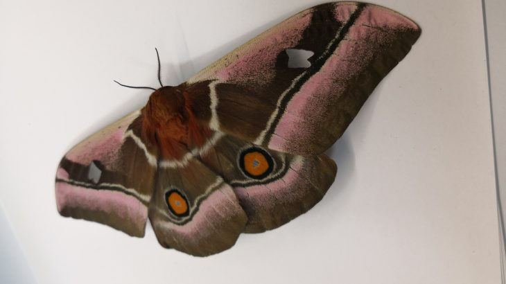 Moths have thick fur that guards against bats which are a primary predator of moths and which use echolocation to hunt.
