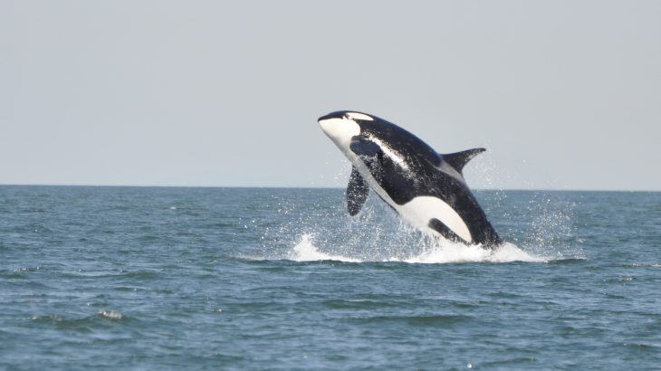 A new project allows you to tune into live streams of orca whales near Washington State and participate in a citizen science initiative.