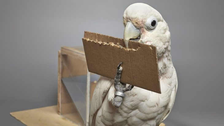Goffin's cockatoos are a capable tool maker even though they are not as well known for their tool making ability compared to crows and otters.