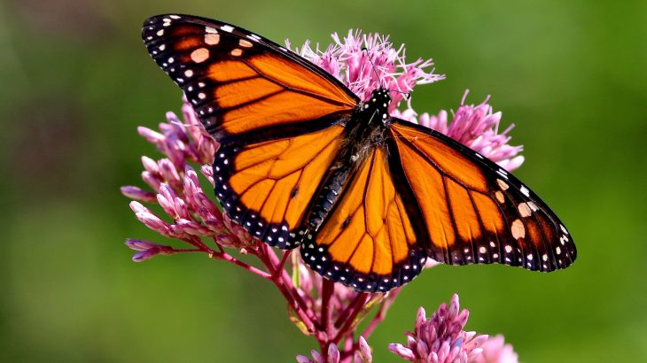 Monarch butterfly populations in North Central Florida have been declining since 1985, and have dropped by 80 percent since 2005.