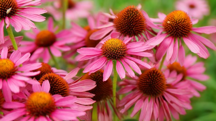 When it comes to the effectiveness of echinacea in fighting colds, study outcomes have been very inconsistent.