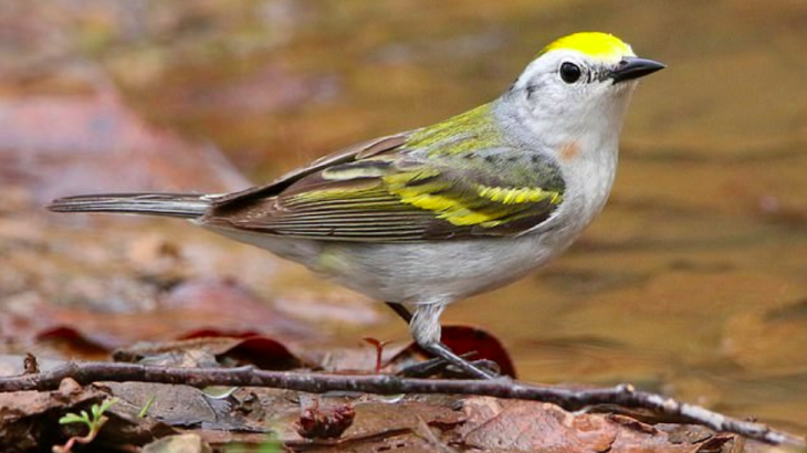 There has never been a hybrid pairing of chestnut-sided warblers and Blue or Golden-Winged Warblers recorded before.