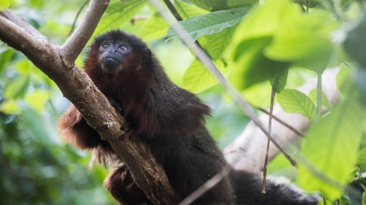Experts analyzed ancient DNA samples from a now-extinct monkey in an effort to understand why this monkey's physicality was so different.