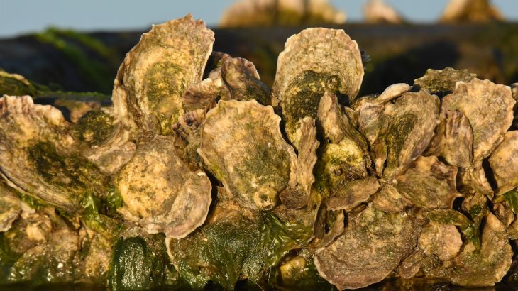 A new study shows significant declines in four major commercially important species of shellfish along the U.S. east coast in recent years.