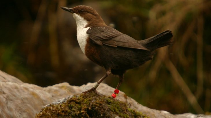 Fledglings and nestlings who experience stress are not able to sing as skillfully as their young and healthy male counterparts.