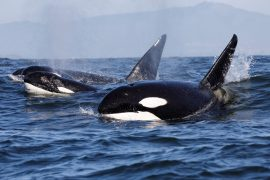 A new study has revealed that killer whales have some of the same sociable personality traits as humans and chimpanzees.