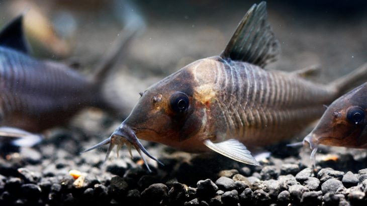 Experts believe the enlarged brains may be linked to electric discharges that are used by the fish to communicate and locate prey.
