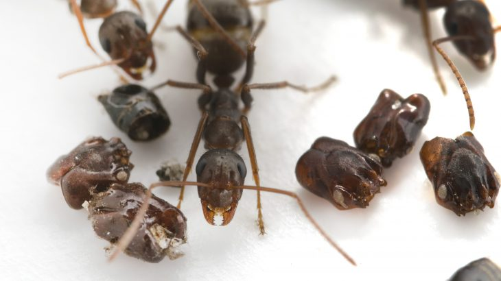 New research has revealed the behavioral strategies of a Florida ant that decorates its nest with the dismembered body parts of other ants.