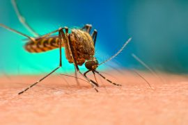 Scientists have managed to fully map a mosquito genome which could help to combat the spread of the deadly viruses carried by this species.