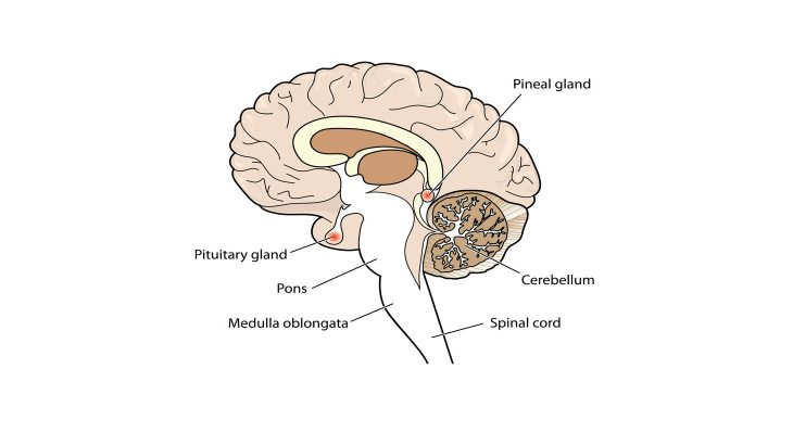 What is Pineal Gland? • Earth com