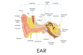 What is Ear?