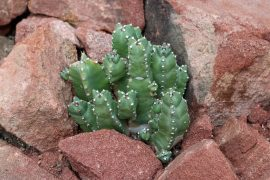 Euphorbia resinifera produces a nerve-destroying chemical that could be used to shut down chronic pain.