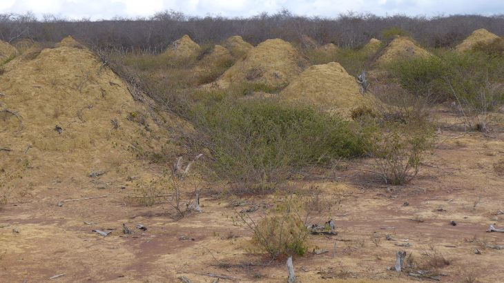 In northeastern Brazil, there exists an expansive network of termite mounds so large you can see them from space using Google Earth.