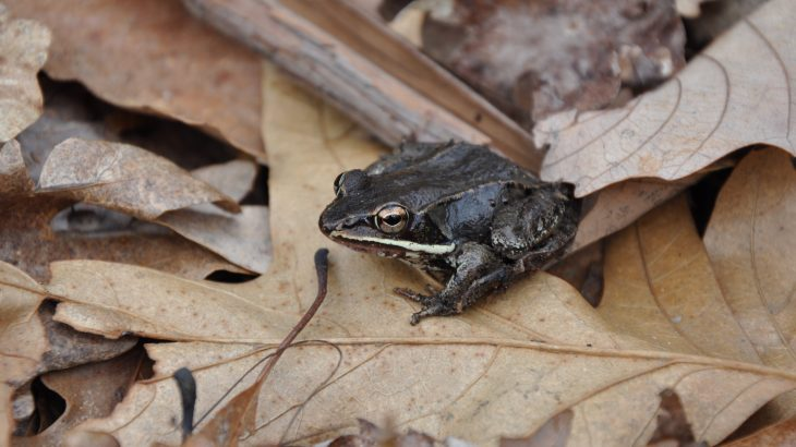 When frogs from quiet ponds are relocated close to the highway, they experience stress that impairs their immune systems.