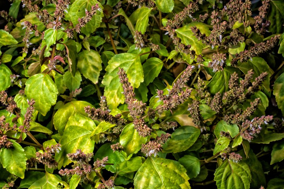 """Patchouli, since the 1960s, has been considered a """"hippy"""" fragrance with a powerful scent that drives high demand."""