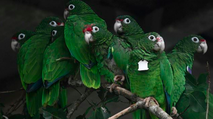 Scientists are scrambling to save endangered Puerto Rican parrots, which have become even more threatened since Hurricane Maria.