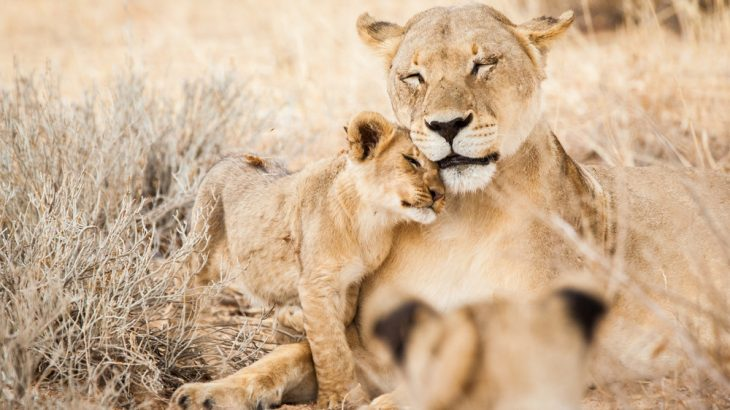 """The new BBC series """"Dynasties"""" shines a light on Earth's shrinking lion populations in the newest episode."""
