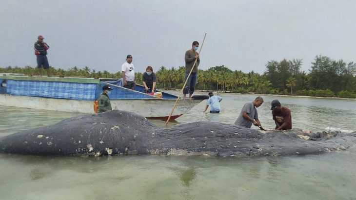 13 pounds of plastic were found in the stomach a dead whale in Indonesia, further highlighting the extend of the plastic pollution crisis.