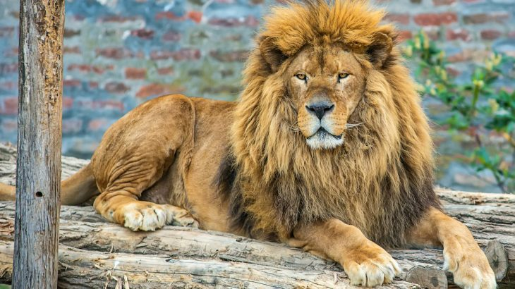A committee of lawmakers who oversee environmental affairs in South Africa is calling for an end to captive lion trophy hunting.
