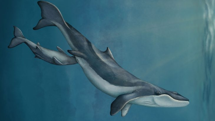 A new fossil discovery is helping researchers piece together the origins of the unique baleen filter feeding system in whales.