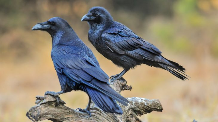 Ravens and great apes show some planning skills, but that doesn't necessarily mean they think like humans do.