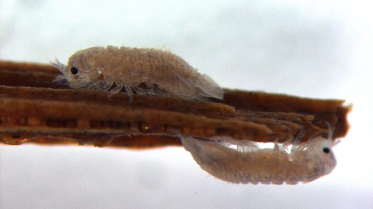Small, wood-eating crustaceans known as a gribble could help uncover potential solutions for efficient ways to convert wood into biofuel.