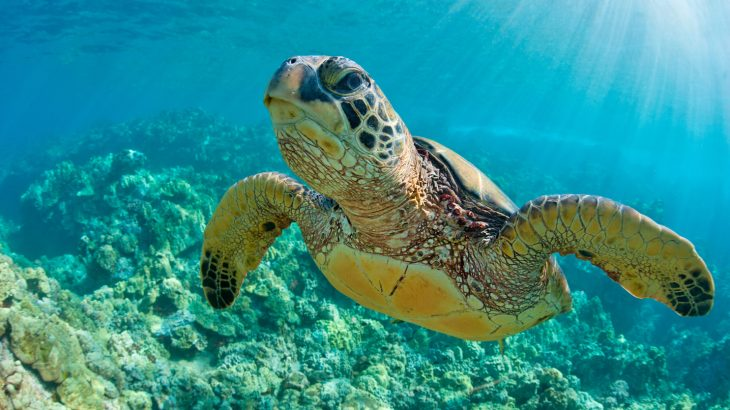 An alarming new study led by the University of Exeter has found microplastics in the guts of all seven species of sea turtles.