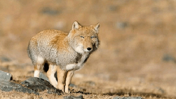 The Tibetan sand fox is a small canid native to the Tibetan Plateau and is swathed in luxurious grey-gold fur.
