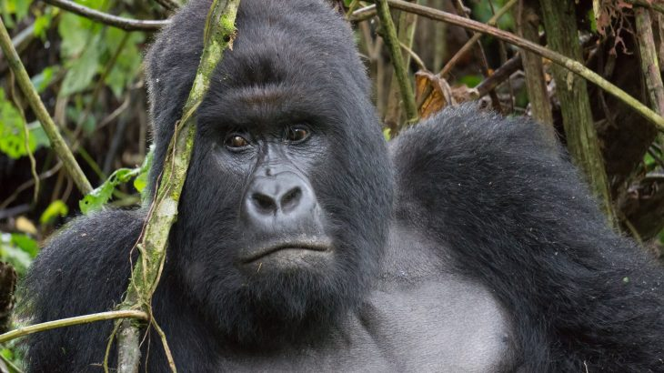 A link exists between hoarding unused phones and the dramatic decline of gorilla populations in the eastern Democratic Republic of the Congo.