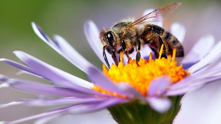 A new vaccine developed at the University of Helsinki may offer a solution to one of the diseases that threaten honey bee colonies.