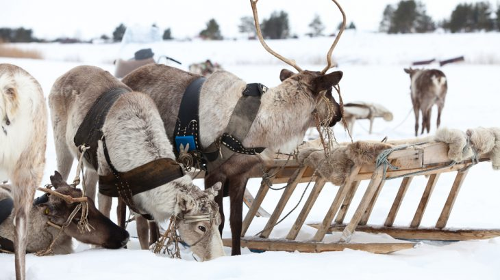 Reindeer have color vision similar to dogs - meaning they can't see orange, green or Rudolph's shining red nose.