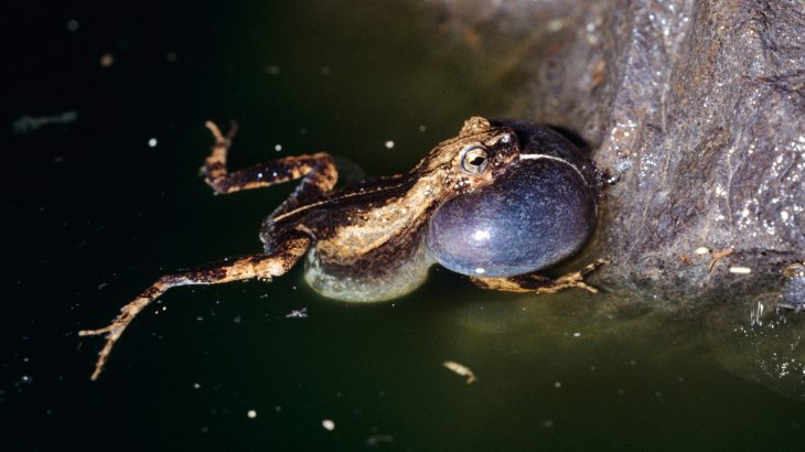Male tungara frogs in Panama City try to appear to be sexier and more enticing than other frogs in nearby forests.